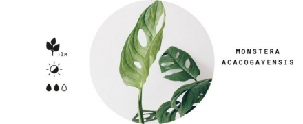Microtrends: monstera in the interior